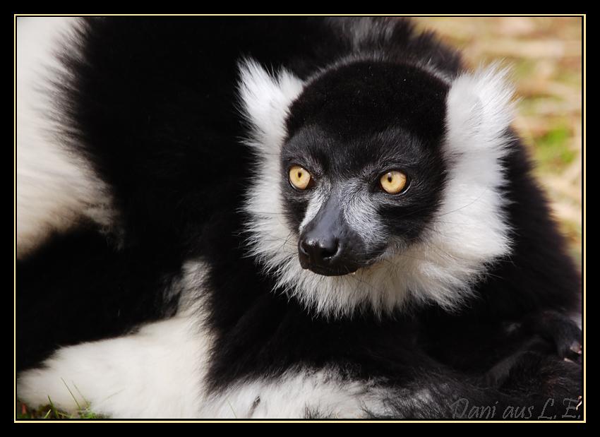 schwarz wei er vari foto bild tiere zoo wildpark falknerei s ugetiere bilder auf. Black Bedroom Furniture Sets. Home Design Ideas
