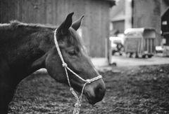 schwarz-weisses Pferdeportrait (Baccara)