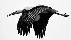 Schwarz - Weißstorch