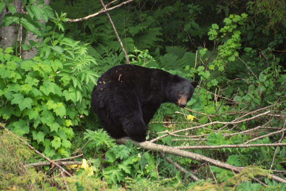 Schwarzbaer Canada 2004