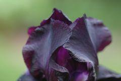 schwarzblaue Iris 1