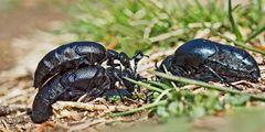 Schwarzblaue Ölkäfer feiern den Frühling! - Méloé printanier (Meloe proscarabaeus).