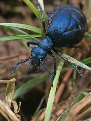 Schwarzblaue Ölkäfer (Meloe proscarabaeus)