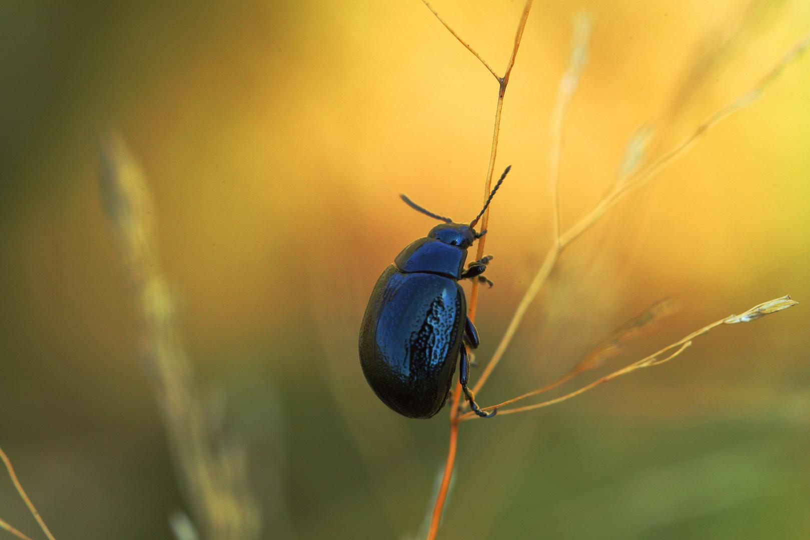 Schwarzblauer Wegerich-Blattkäfer  -  Chrysolina Haemoptera