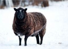 Schwarzbraunes Schaf