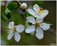 - Schwarzdorn-Blüten -