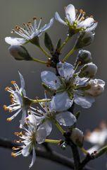Schwarzdorn-Frühling