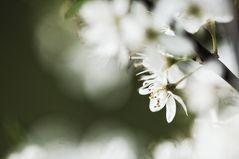 Schwarzdorn-Frühling II