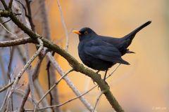Schwarzdrossel - Männchen