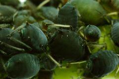 Schwarze Bohnenlaus (Aphis fabae) (II)