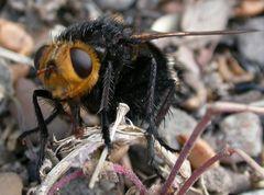 schwarze Fliege (eine mir unbekannte Art) auf dem Boden