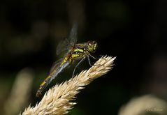 Schwarze Heidelibelle - Weibchen