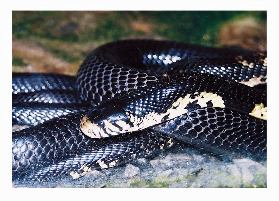 Schwarze Kobra im Schlangenhaus in Nairobi/Kenya