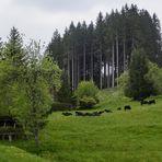 Schwarze Kühe im Schwarzwald :-)