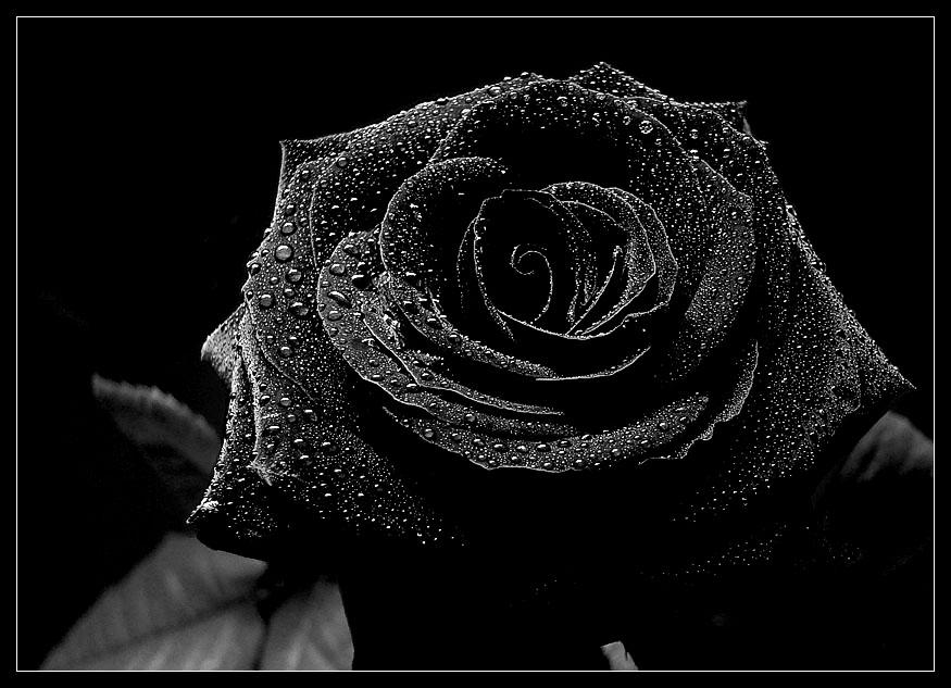 Schwarze Rosen