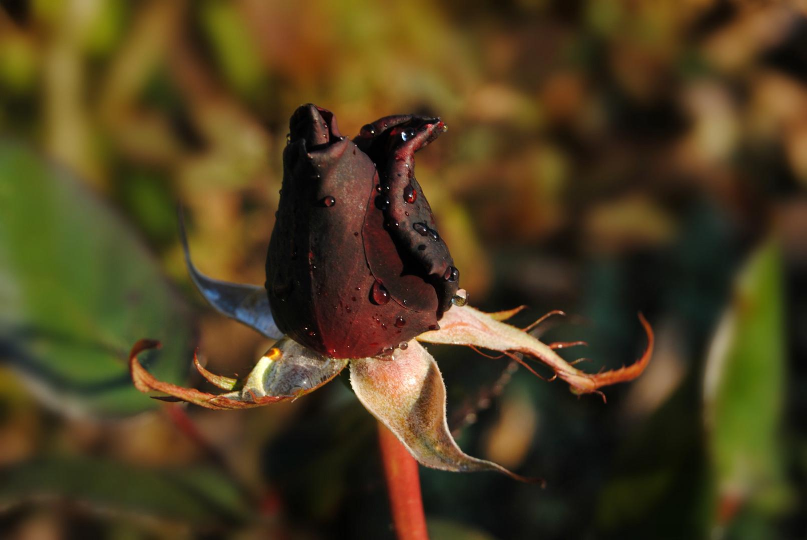 Schwarze Rose im Herbst