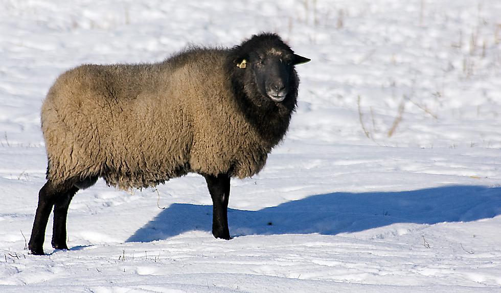Schwarze Schafe.....