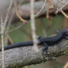 schwarze Waldeidechse (Schwärzling)