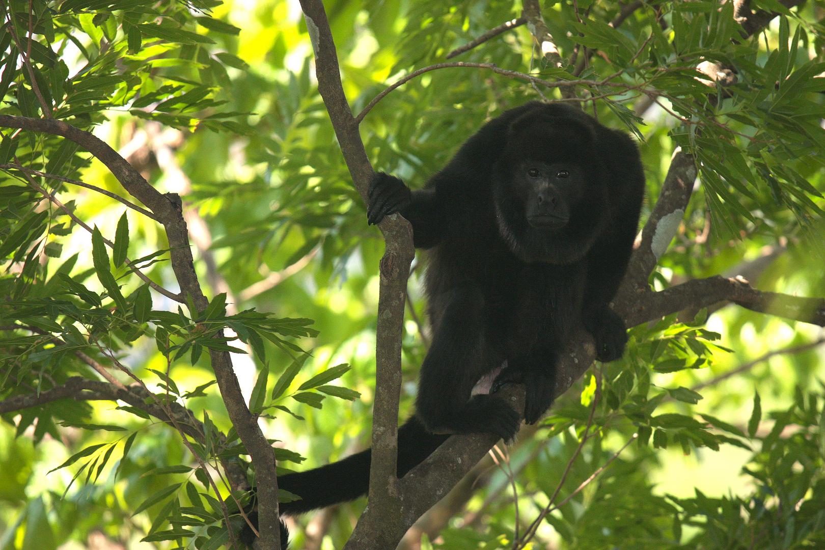 Schwarzer Brüllaffe (Alouatta caraya), Costa Rica
