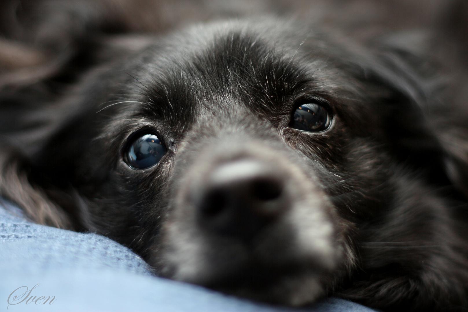 Schwarzer Hund (Hündchen)