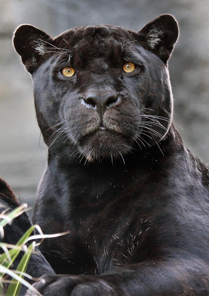 [Bild: schwarzer-jaguar-4f328481-558b-494d-bb8f...eight=1000]
