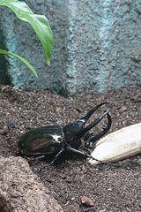 Schwarzer Käfer