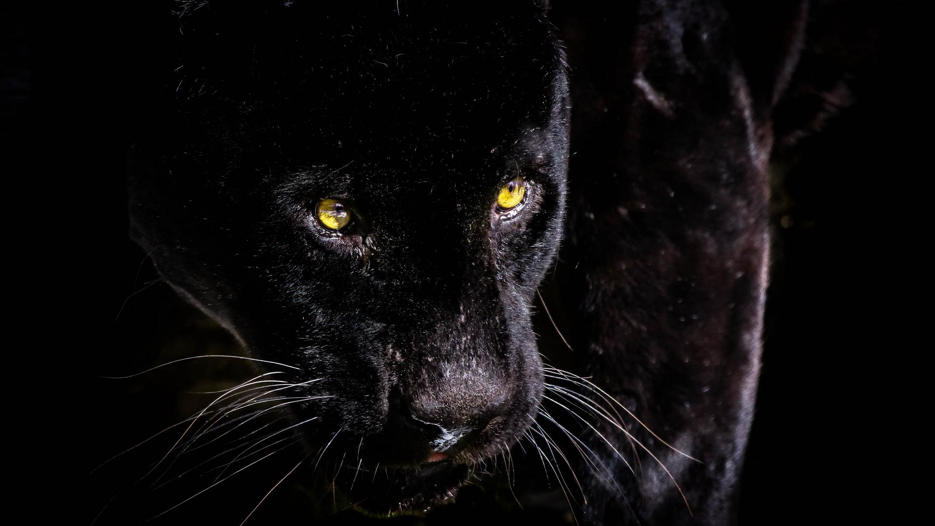 Panther Bilder Kostenlos