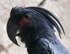 Schwarzer Papagei (Zoo Köln)