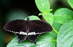 Schwarzer Schmetterling