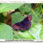 schwarzer Schmetterling mit weißen auf schwarzen Tupfen auf roten Flecken