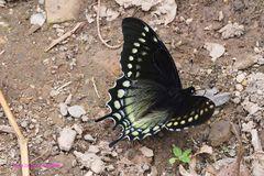 Schwarzer Schwalbenschwanz