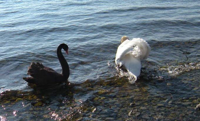 Großer Schwarzer Schwanz In August