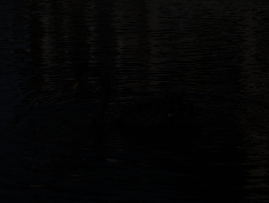 Schwarzer Schwan bei Nacht