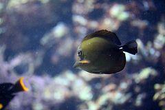 Schwarzer Segelflossen Doktorfisch