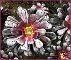 Schwarzes Aeonium ...