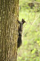 Schwarzes Eichhörnchen auf der Flucht