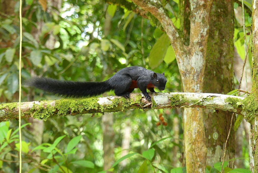 Schwarzes Prevosthörnchen