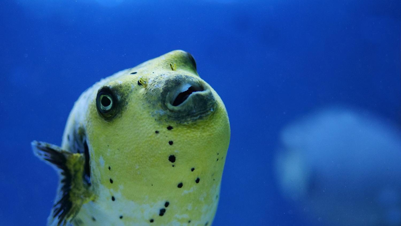 Schwarzflecken-Igelfisch.