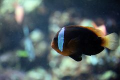 Schwarzflossen Anemonenfisch