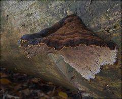 schwarzgebänderter Harzporling (Ischnoderma benzoinum)