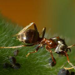 Schwarzgraue(?) Wegameise (Lasius niger) mit Blattläusen