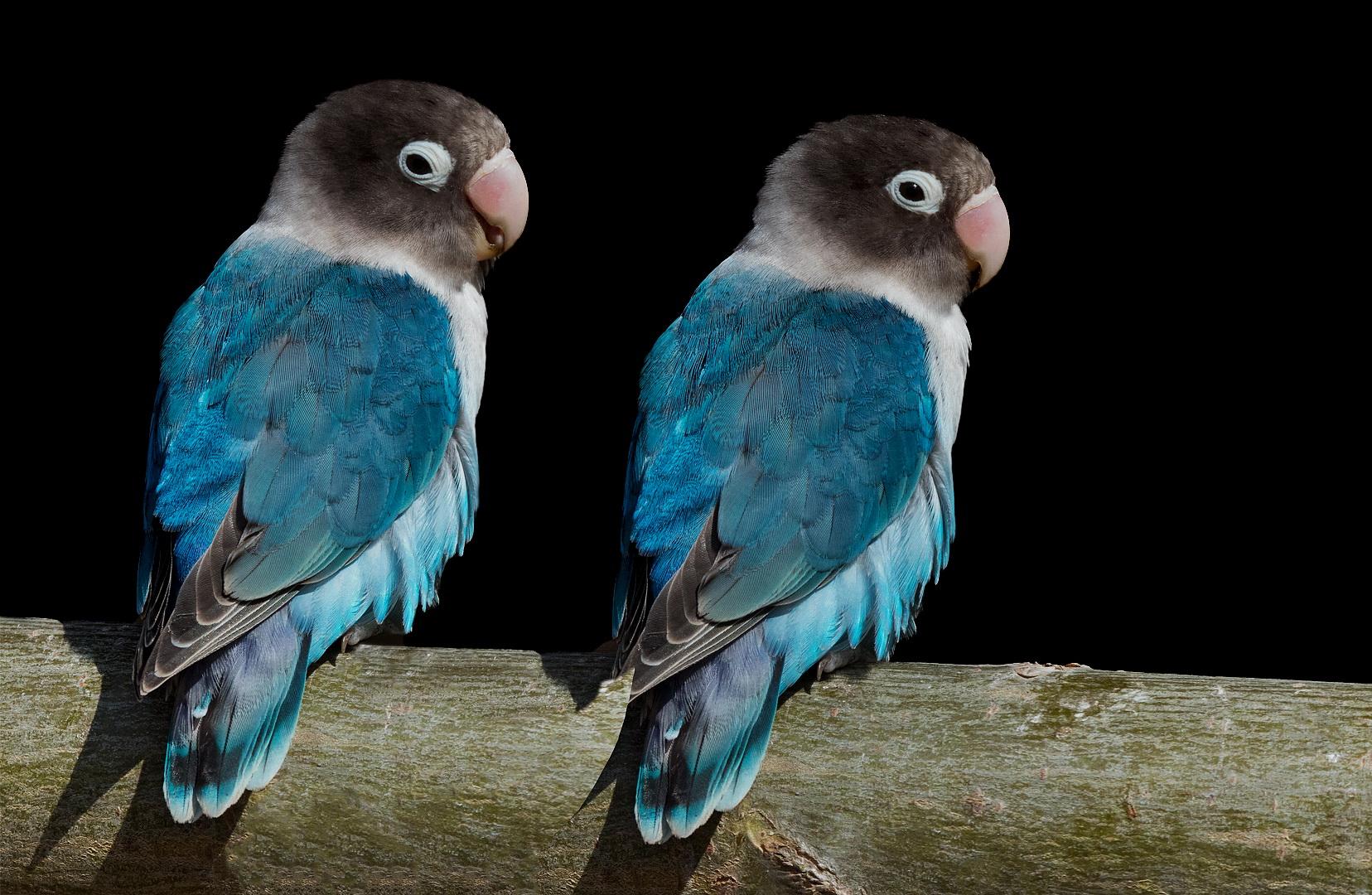 Schwarzköpfchen Blaue Variante Foto Bild Landschaft Lebensräume