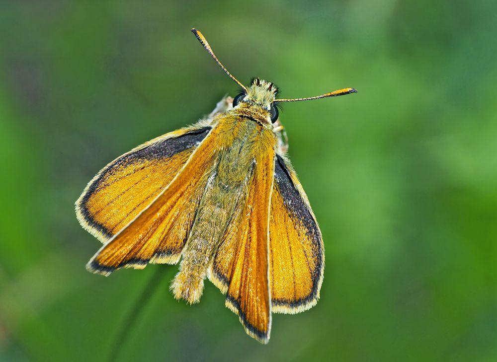 Schwarzkolbiger Braun-Dickkopffalter (Thymelicus lineola)... - Une hespérie du dactyle. *