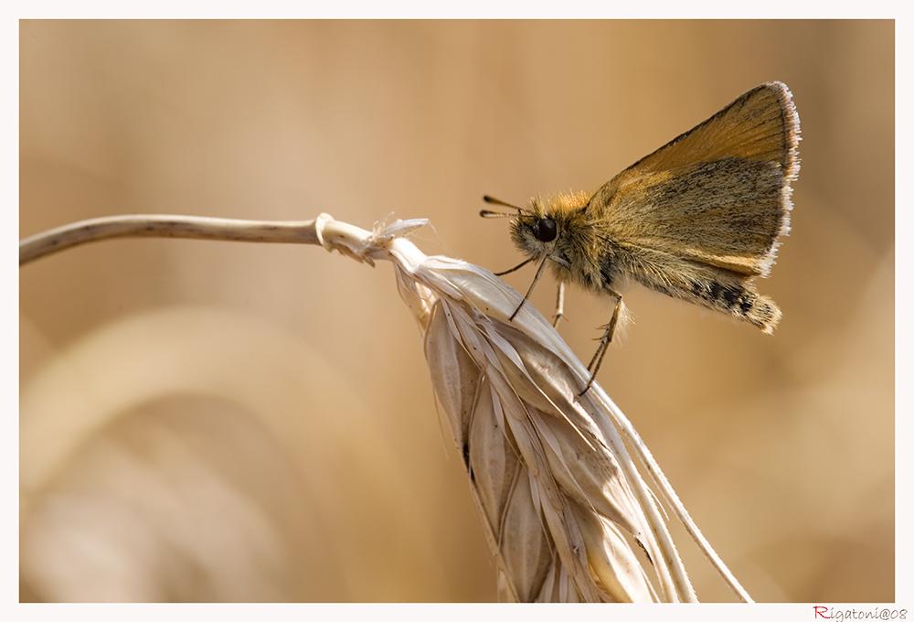 Schwarzkolbiger Braundickkopffalter - Thymelicus lineola
