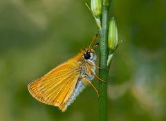 Schwarzkolbiger Braundickkopffalter (Thymelicus lineola) - L'Hespérie du Dactyle.