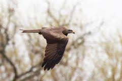 Schwarzmilan(Milvus migrans)  im Vorbeiflug