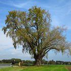 Schwarzpappel, Populus nigra, in der Soester Börde