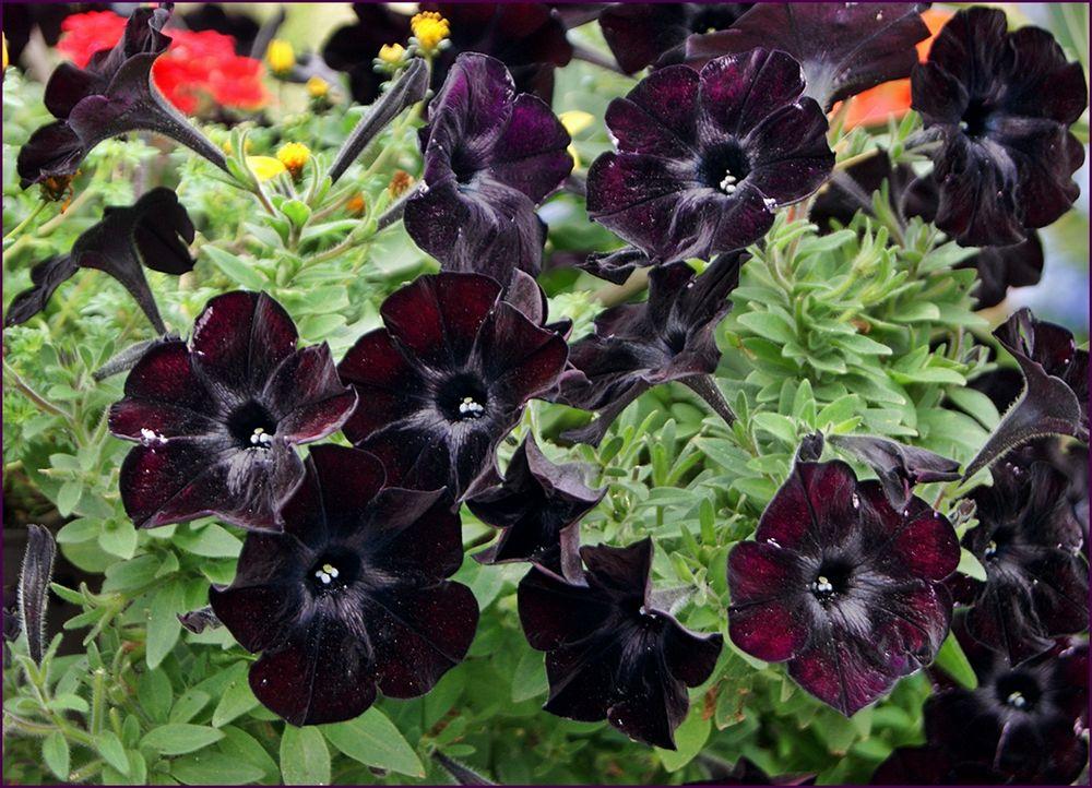 schwarzrote MB