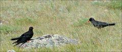 Schwarzschwanzkuckuck und Rotschnabelrabe