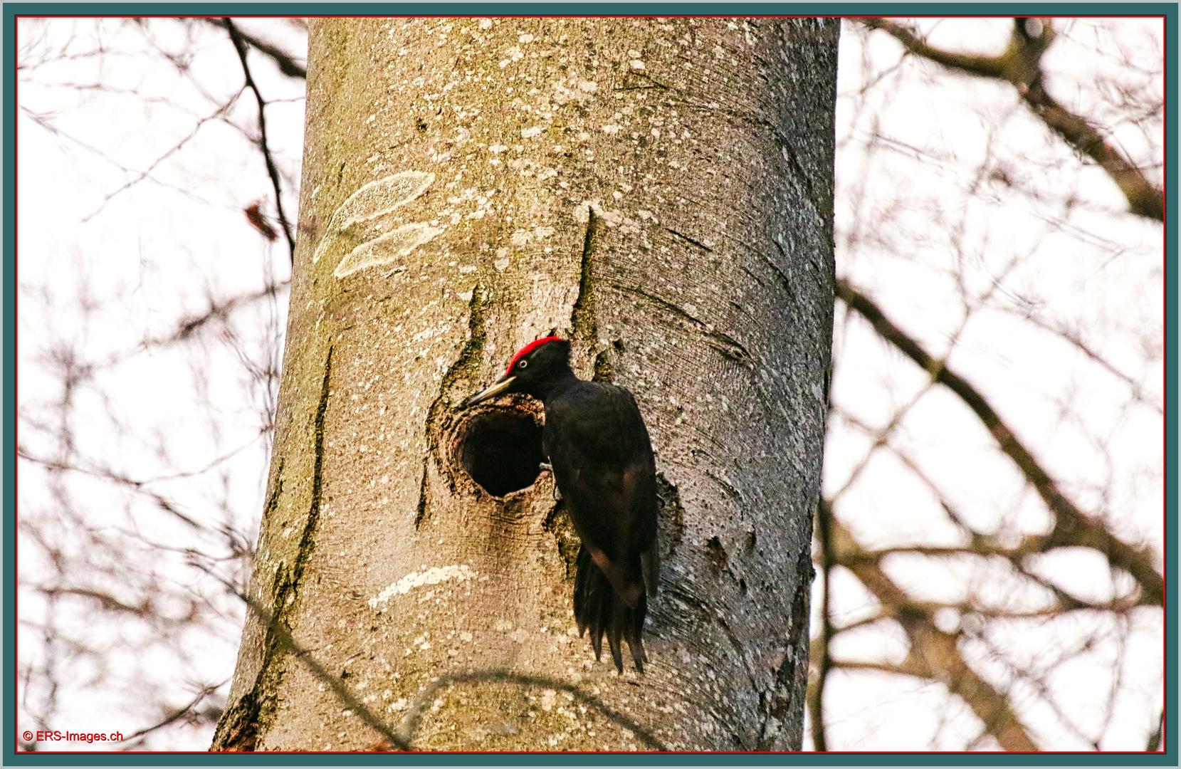 Schwarzspecht Dryocopus martius 2020-02-14 028  Pic noir ©